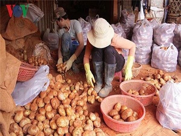 Team chống hàng giả khoai tây Đà Lạt