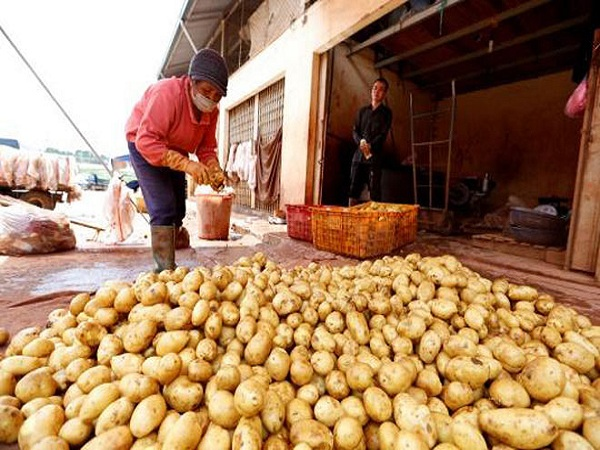 Khoai tây trung quốc vẫn được các tiểu thương nhập về và bán ồ ạt ở chợ