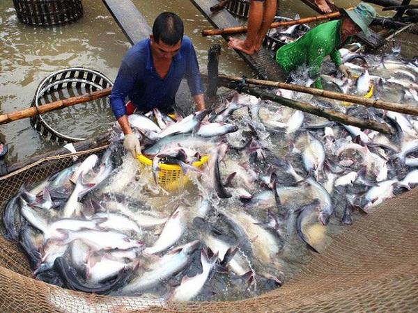 xuất khẩu cá tra