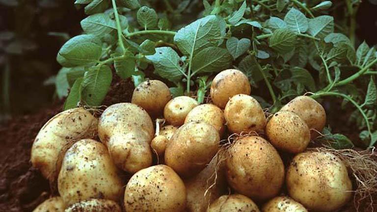 Mơ thấy củ khoai tây điềm báo gì đánh số gì